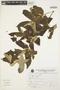 Muntingia calabura L., Peru, V. Quipuscoa S. 768, F