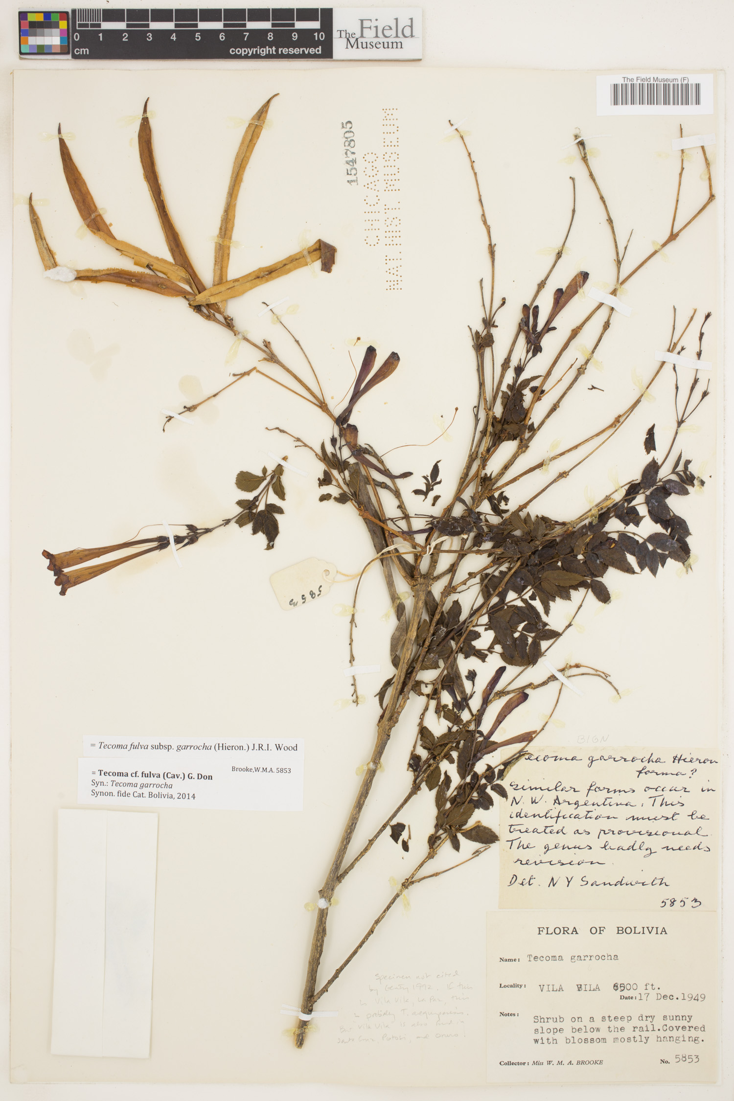 Specimen: Tecoma tenuiflora