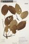 Tynanthus panurensis (Bureau) Sandwith, Peru, M. Rimachi Y. 4064, F