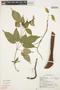 Tynanthus cf. panurensis (Bureau) Sandwith, Ecuador, R. Marles 113, F