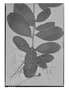 Field Museum photo negatives collection; Genève specimen of Licania heteromorpha Benth., BRITISH GUIANA [Guyana], Schomburgk 873, Isotype, G