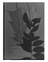 Field Museum photo negatives collection; Genève specimen of Licania leptostachya Benth., BRITISH GUIANA [Guyana], R. H. Schomburgk 111, Isotype, G