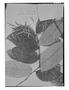 Field Museum photo negatives collection; Genève specimen of Licania mollis Benth., BRITISH GUIANA [Guyana], R. H. Schomburgk 910, Isotype, G