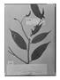 Field Museum photo negatives collection; Genève specimen of Guatteria schomburgkiana Mart., GUYANA, M. R.  Schomburgk 466, Possible type, G