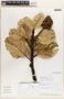 Brunellia briquetii Baehni, PERU, J. Campos 5037, F