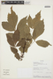 Paullinia caloptera Radlk., SURINAME, B. E. Hammel 21299, F