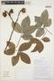 Paullinia fibulata Rich. ex Juss., SURINAME, 3435, F