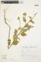 Sida cordifolia L., Peru, S. Llatas Quiroz 2199, F