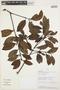Gaiadendron punctatum (Ruíz & Pav.) G. Don, PERU, G. Ortiz 4774, F