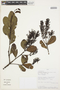 Gaiadendron punctatum (Ruíz & Pav.) G. Don, PERU, G. Ortiz 4818, F