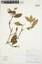 Gaiadendron punctatum (Ruíz & Pav.) G. Don, PERU, A. Peña 7467, F