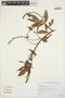 Paullinia carpopodea, BRAZIL, W. Hoehne 13542, F