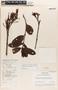 Parahancornia peruviana Monach., PERU, A. Aróstegui V. 106, F