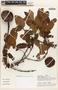 Parahancornia peruviana Monach., PERU, A. H. Gentry 31703, F