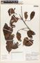 Parahancornia peruviana Monach., PERU, C. Díaz S. 1084, F