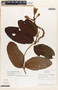 Mandevilla symphytocarpa (G. Mey.) Woodson, Brazil, J. H. Kirkbride, Jr. 2824, F