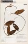 Mandevilla symphytocarpa (G. Mey.) Woodson, BRAZIL, T. C. Plowman 8923, F