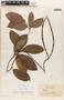 Mandevilla symphytocarpa (G. Mey.) Woodson, GUYANA, J. S. de la Cruz 1335, F