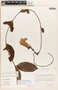 Mandevilla symphytocarpa (G. Mey.) Woodson, PERU, S. R. King, F