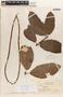 Mandevilla symphytocarpa (G. Mey.) Woodson, GUYANA, J. S. de la Cruz 3807, F