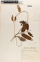Mesechites mansoanus (A. DC.) Woodson, BRAZIL, H. L. de Mello Barreto 507, F