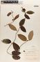 Mesechites mansoanus (A. DC.) Woodson, BRAZIL, A. F. Regnell 881, F
