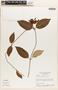 Mesechites mansoanus (A. DC.) Woodson, Brazil, H. S. Irwin 26964, F
