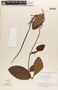Mesechites mansoanus (A. DC.) Woodson, BRAZIL, G. T. Prance 8570, F