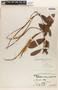 Mesechites mansoanus (A. DC.) Woodson, BOLIVIA, J. Steinbach 7456, F