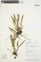 Octomeria tridentata Lindl., PERU, S. Knapp 8469, F