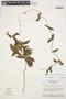 Prestonia solanifolia (Müll. Arg.) Woodson, BRAZIL, H. S. Irwin 30519, F
