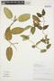 Prestonia mollis Kunth, PERU, R. Rojas 747, F