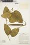 Prestonia mollis Kunth, PERU, D. R. Simpson 401, F