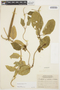 Prestonia mollis Kunth, ECUADOR, M. Acosta Solis 10640, F