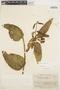 Prestonia mollis Kunth, ECUADOR, W. H. Camp E-3855, F