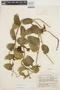 Prestonia mollis Kunth, ECUADOR, J. A. Steyermark 53726, F