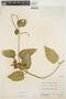 Prestonia mollis Kunth, ECUADOR, J. A. Steyermark 52702, F
