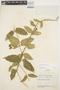 Prestonia mollis Kunth, ECUADOR, J. A. Steyermark 53754, F