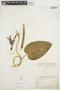 Prestonia mollis Kunth, ECUADOR, H. F. A. von Eggers 14956a, F
