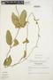 Prestonia mollis Kunth, ECUADOR, L. B. Holm-Nielsen 2549, F