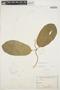 Prestonia mollis Kunth, ECUADOR, H. F. A. von Eggers 15632, F