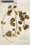Prestonia mollis Kunth, ECUADOR, J. A. Steyermark 54371, F