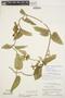 Prestonia mollis Kunth, Peru, P. C. Hutchison 3418, F