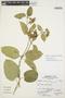 Prestonia mollis Kunth, Peru, A. Sagástegui A. 15061, F
