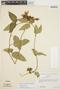 Prestonia mollis Kunth, Peru, G. Edwin 3733, F