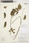 Prestonia mollis Kunth, Peru, M. O. Dillon 6057, F