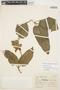Prestonia mollis Kunth, Peru, J. J. Soukup 4275, F