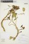 Prestonia mollis Kunth, Peru, W. M. Ruíz V. 2133, F