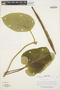 Prestonia mollis Kunth, Peru, F. Woytkowski 7036, F
