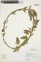 Prestonia mollis Kunth, Peru, I. M. Sánchez Vega 561, F